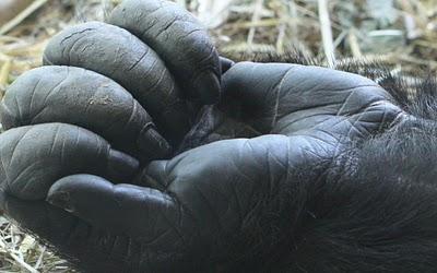 gorilla_hand