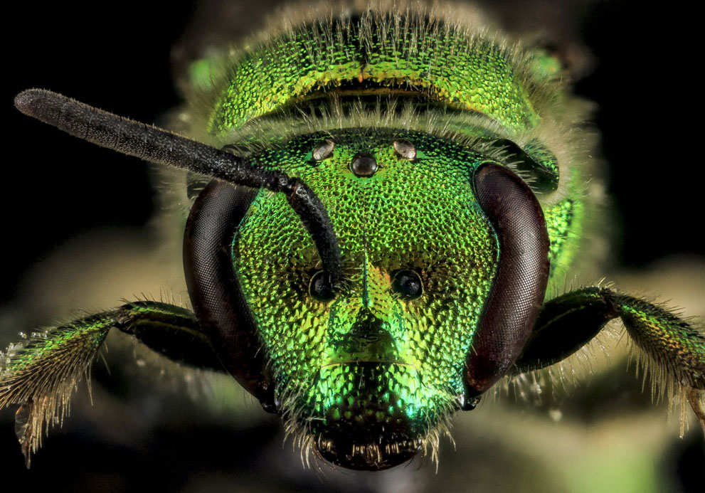 Augochloropsis metallica,  bee