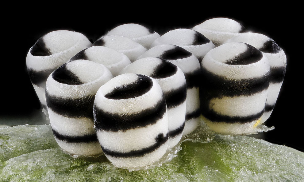 Harlequin bug eggs