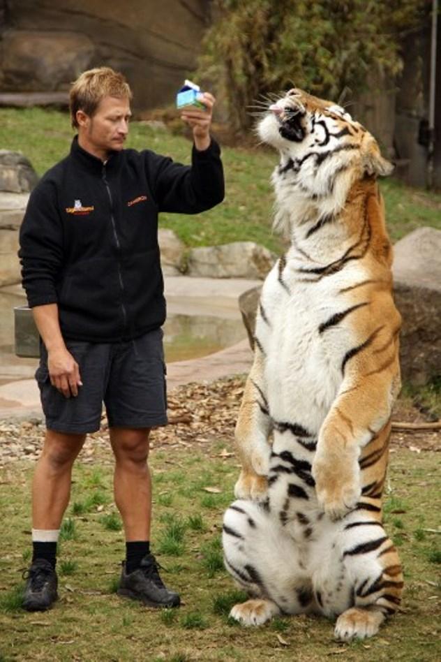 سلطان یکی از ببر های باغ وحشی در استرالیا برای گرفتن پاداش مورد علاقه اش، یک لیوان شیر، ترفند هایش را انجام می دهد