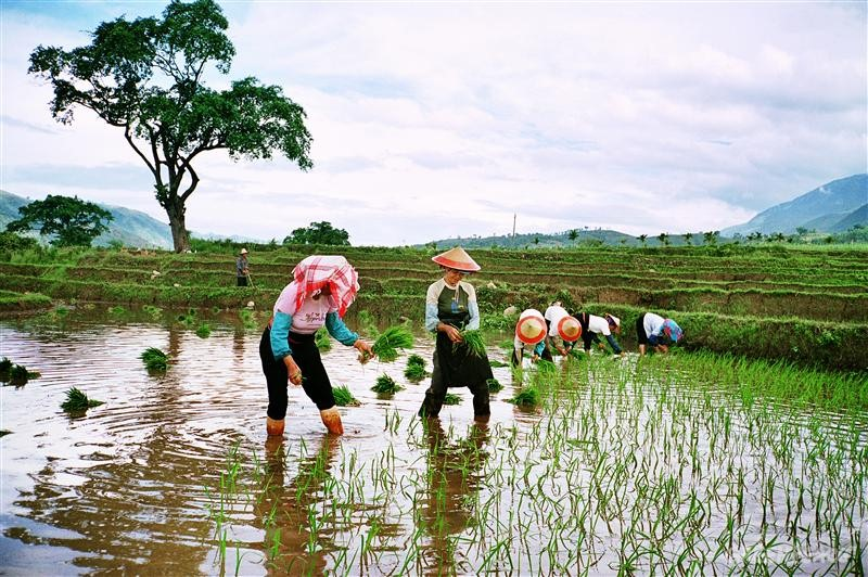 Planting Rice Seeds in Xinping