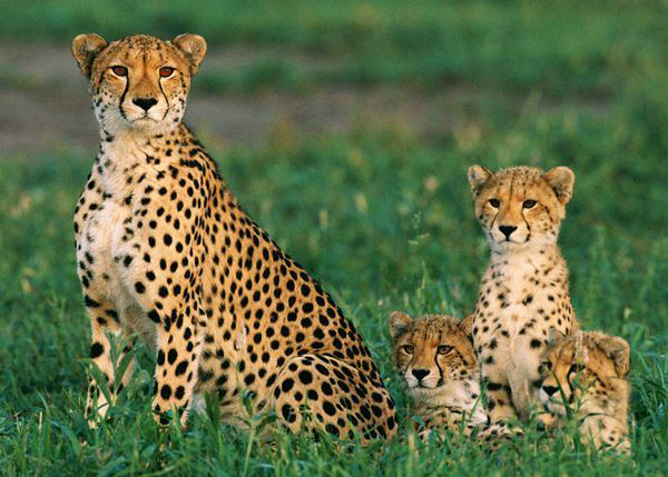 Cheetah & Cubs 5