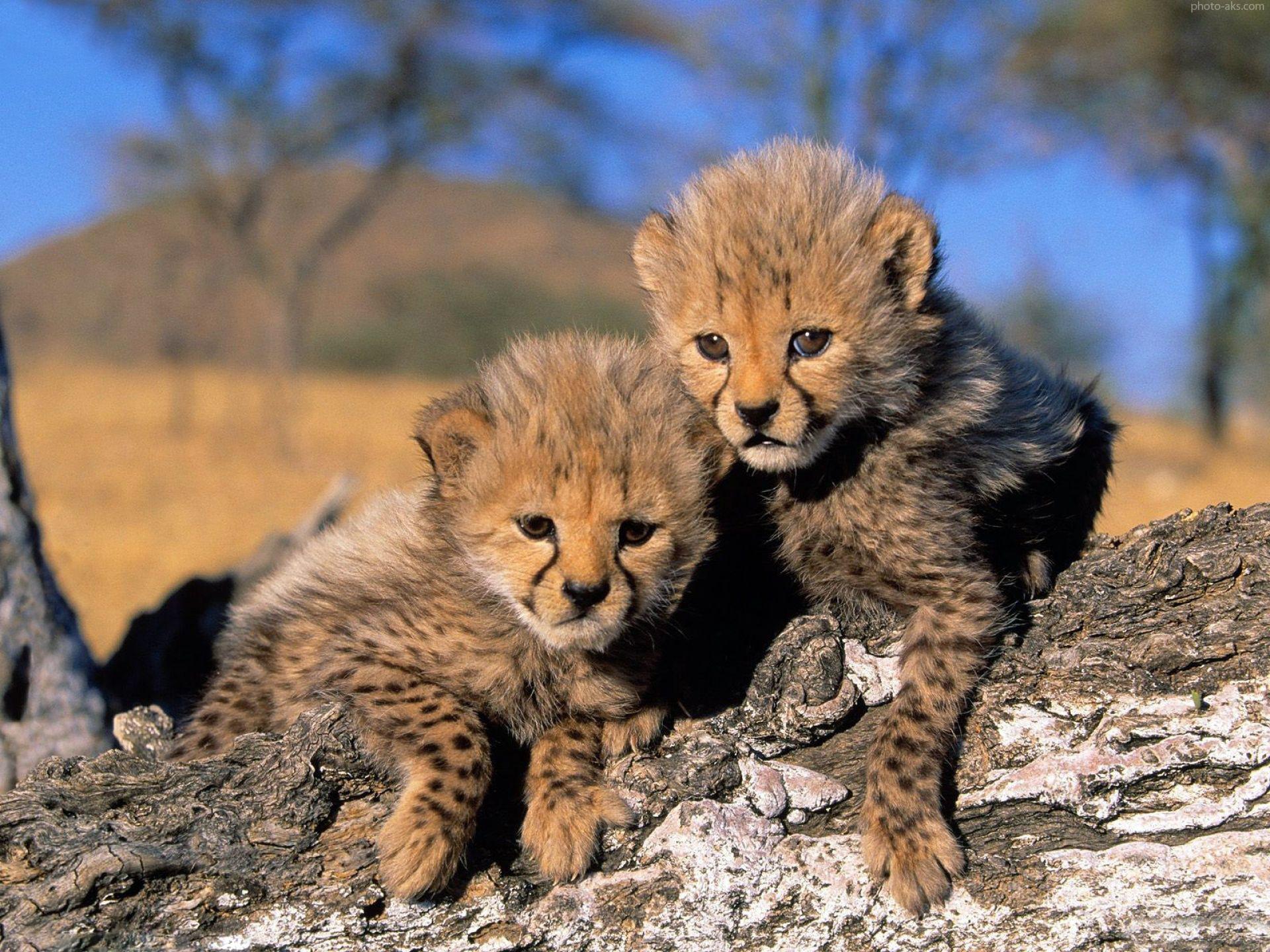 iranian_cheetah_baby