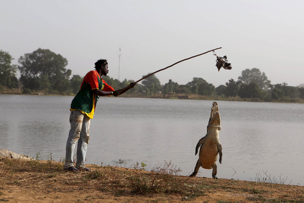 A guide dangles a live chicken in front of a crocodile in the village of Bazoule