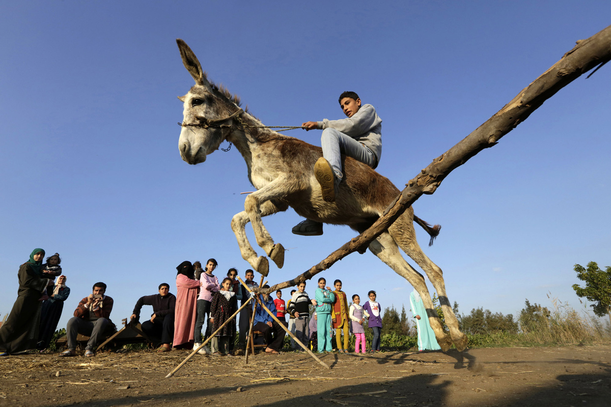 APTOPIX Mideast Egypt Jumping Donkey Photo Gallery