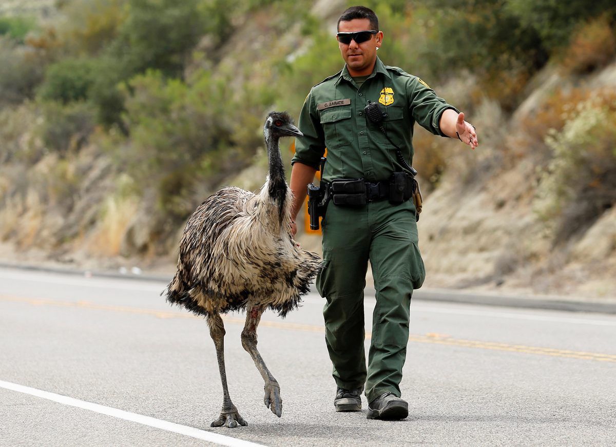 U.S. Customs and Border Patrol officer Constantino Zarate tries to herd an Emu off the highway as a wildfire continues to burn north of the U.S. Mexico border near Potrero, California, U.S. June 21, 2016. REUTERS/Mike Blake TPX IMAGES OF THE DAY - RTX2HG55