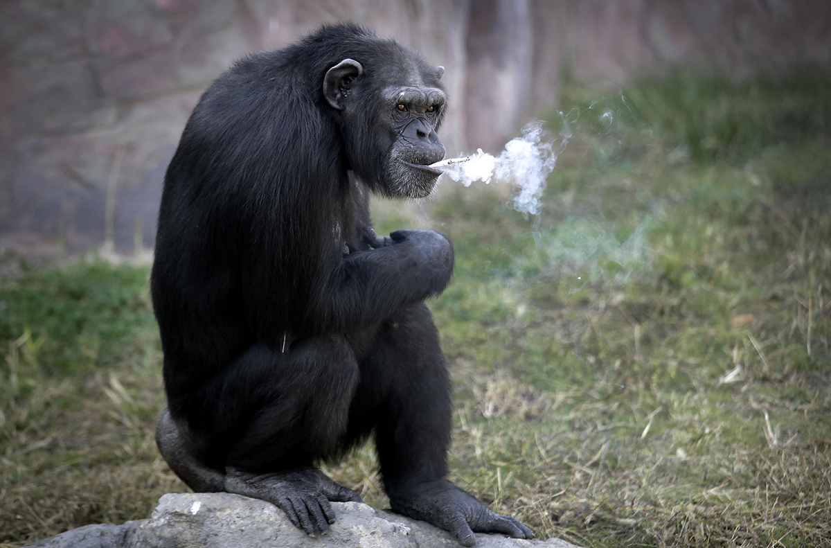"Azalea, a 19-year-old female chimpanzee whose Korean name is ""Dallae,"" smokes a cigarette at the Central Zoo in Pyongyang, North Korea Wednesday, Oct. 19, 2016. According to officials at the newly renovated zoo, which has become a favorite leisure spot in the North Korean capital since it was re-opened in July, the chimpanzee smokes about a pack a day. They insist, however, that she doesn't inhale. (AP Photo/Wong Maye-E)"